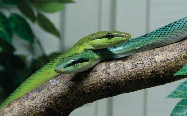Closeup of Bangkok Snake Farm: Red-Tailed Green Rat Snakes