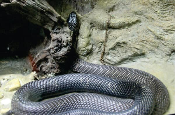 Monocled Cobra at Snake Farm in Bangkok