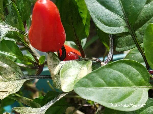 Ornamental peppers in my garden