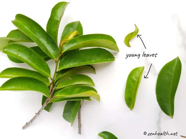 Soursop leaves - young and mature